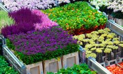 Royal Flora Holland verbetert en innoveert